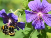 Mit seinen aparten Blüten und außergewöhnlichen Fruchtständen ist der Stinkende Storchschnabel eine Augenweide für jedes Beet. Hummeln und Bienen lieben die Pflanze und zählen zu den eifrigsten Besuchern. (Foto: © Martina Hörle)