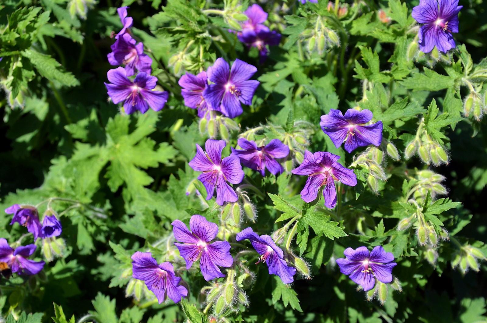 Die vielfältige Pflanze eignet sich als Bodendecker, für Beetbepflanzungen und als dekorative Kübelpflanze. Sie ist überaus pflegeleicht und wird sogar von Raupen und Schnecken verschont. (Foto: © Martina Hörle)