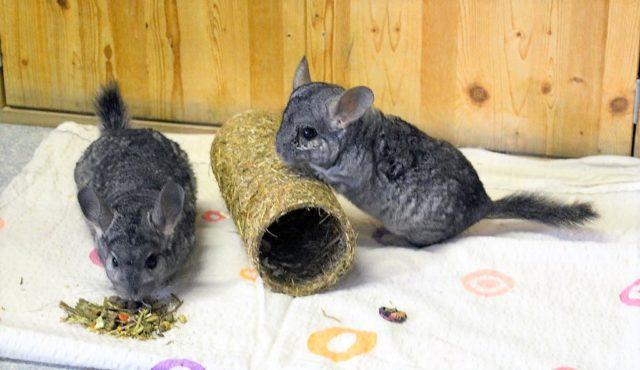 Die beiden Chinchillas Tic und Tac kamen aus einer Sicherstellung ins Tierheim und warten auf ein neues Zuhause. (Foto: © Martina Hörle)