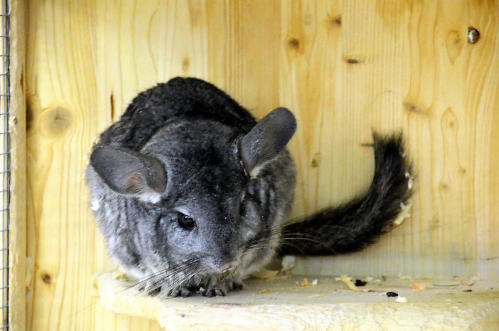 Chinchillas brauchen Bewegung und Abwechslung. Sie sind keine Knuddeltiere, auch wenn sie mit ihren großen Ohren und dunklen Knopfaugen so possierlich aussehen. (Foto: © Martina Hörle)