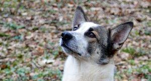 Alwin, der dreieinhalb Jahre alte Schäferhund-Border-Collie wartet seit Dezember im Tierheim Glüder auf ein neues Zuhause. (Foto: © Martina Hörle)