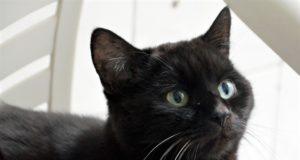 Der schwarze Kater Balou gehört zur Rasse der Europäisch-Kurzhaar-Katzen. Er wurde neun Monate nach seiner Vermittlung wieder zurückgegeben. Er ist ausgesprochen menschenbezogen und sehr verschmust. Jetzt wünscht er sich ein neues Heim, in dem er ohne andere Tiere leben darf und viele Streicheleinheiten bekommt. (Foto: © Martina Hörle)