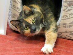 Katzenschönheit Julina kam vor einem Monat als Fundtier ins Tierheim Solingen. Jetzt sucht sie ein neues Zuhause, in dem sie als Einzeltier glücklich sein kann. (Foto: © Martina Hörle)