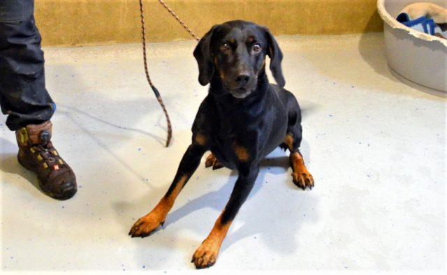 Der temperamentvolle Rüde Luca ist vor einigen Wochen als Abgabehund ins Tierheim gekommen und sucht jetzt ein neues Heim mit hundeerfahrenen Dosenöffnern. (Foto: Martina Hörle)