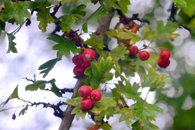 Die leuchtend roten Beeren des Weißdorns bieten einen zauberhaften Blickfang. Die Pflanze eignet sich als Solitär, ist aber ebenso ein wichtiges Gehölz für Vogelschutzhecken. (Foto: © Martina Hörle)