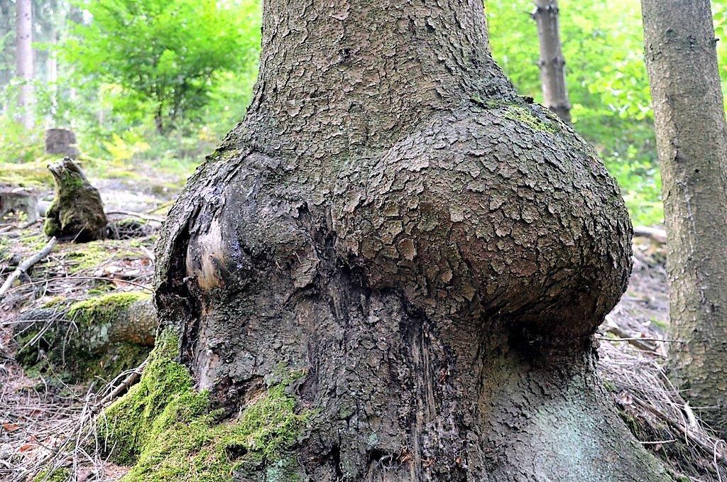 Die Maserknolle ist eine Zellwucherung, die eine ganz besondere Maserung des Holzes hervorruft. (Foto: © Martina Hörle)