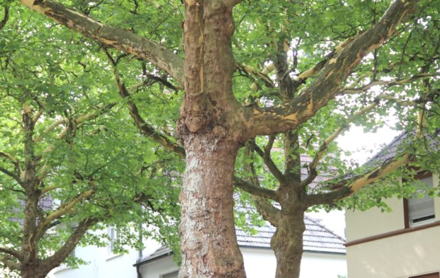 Die sommerliche Witterung freut die meisten Menschen, ist für die Natur aber auch eine Herausforderung. Wie gehen die Bäume damit um? (Foto: © Bastian Glumm)