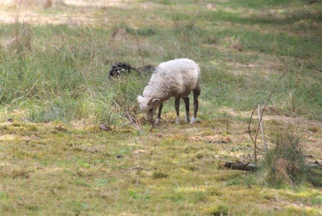 Von der Blauzungenkrankheit im bergischen Städtedreieck sind Rinder, Schafe und Ziegen betroffen. (Archivfoto: © Bastian Glumm)