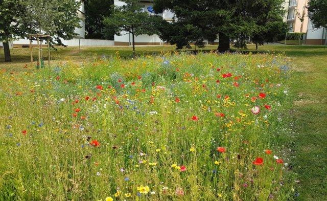 Die neu angelegte Blumenwiese auf der Rückseite der Schulstraße 59 hat die andauernde Trockenheit gut überstanden und kann in voller Blüte bewundert werden. (Foto: © Bauverein Gräfrath)