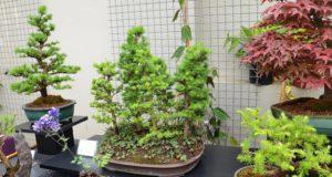 Pfingsten: Zum 4. Mal richtet der Bonsai Arbeitskreis Solingen seine Bonsaiausstellung in den Gewächshäusern im Botanischen Garten aus. (Archivfoto: © Martina Hörle)