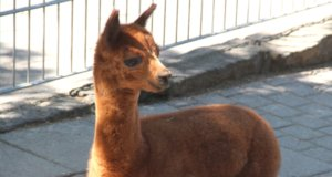 """""""Simba"""" kam vergangene Woche Donnerstag in der Fauna zur Welt. Der kleine Alpaka ist der derzeit jüngste Bewohner des Tierparks Fauna. (Foto: © Bastian Glumm)"""