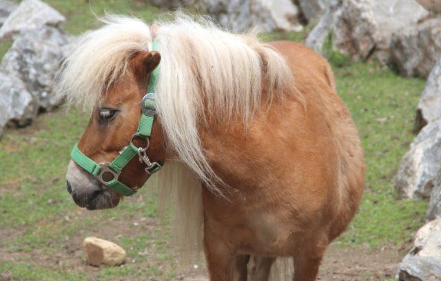 Dank seiner blonden Mähne ist Mini-Shetlandpony