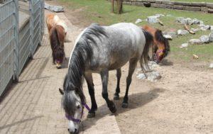"""Welsh-Mountain-Pony """"Pepper"""" unterscheidet sich optisch deutlich von den drei Mini-Shetlandponys und ist ein gutes Stück größer. (Foto: © B. Glumm)"""