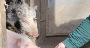 Überzeugungsarbeit mit einer Möhre: Die Minischweine Mona (gefleckt) und Rosi (rosa) haben am Mittwoch erstmals ihren Stall verlassen und gingen auf Erkundung in ihrem neuen Gehege in der Fauna. (Foto: © B. Glumm)