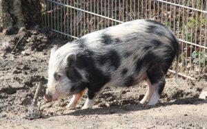 Minischwein Mona ist ein Jahr alt und kommt aus einer Privathaltung im Münsterland in die Fauna. (Foto: © B. Glumm)