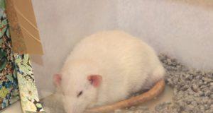 60 Ratten machen morgen Station in der Tierparkschule der Fauna. Preisrichter werden die schönsten Exemplare prämieren. (Archivfoto: © B. Glumm)