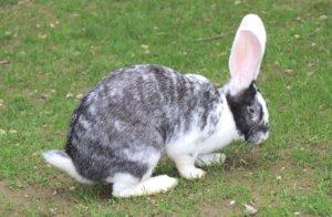 """Echte Prachtexemplare sind die sechs """"Deutschen Riesen"""", die das neue Kaninchen-Gehege in der Fauna bewohnen. (Foto: © Bastian Glumm)"""