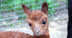 Kerngesund und quietschvergnügt: Am Montag wurde Alpaka-Mädchen Merida in der Gräfrather Fauna geboren. (Foto: © B. Glumm)