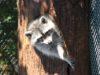 Nicht nur die Waschbären sind in in der Gräfrather Fauna derzeit unter sich. Denn aufgrund der Corona-Krise ist der Park seit drei Wochen für Besucher geschlossen. (Archivfoto: © Bastian Glumm)