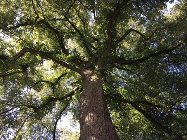 159 Bäume stehen in Solingen unter besonderem Schutz, zwei majestätische Winterlinden an der Lindenbaumstraße gehören jetzt auch dazu. (Foto: © Stadt Solingen)