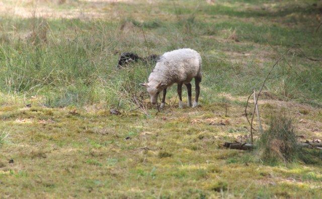 In den kommenden Wochen werden wieder Schafe die Ohligser Heide bevölkern, was nicht zu übersehen und überhören sein wird. (Archivfoto: © Bastian Glumm)