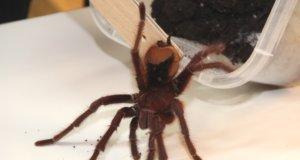 Auch eine ganze Reihe von Vogelspinnen wird es auf der Spinnenausstellung in der Fauna zu sehen geben. (Archivfoto: © Bastian Glumm)
