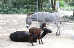 Mutter Arielle und ihr namenloser Nachwuchs sind derzeit räumlich getrennt von Papa Bela und den drei Eseln, mit denen sich die Alpakas sonst ein Gehege teilen. (Foto: © Bastian Glumm)