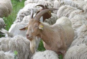 Auch einige Ziegen haben sich unter die Schafherde gemischt. (Foto: © Martina Hörle)
